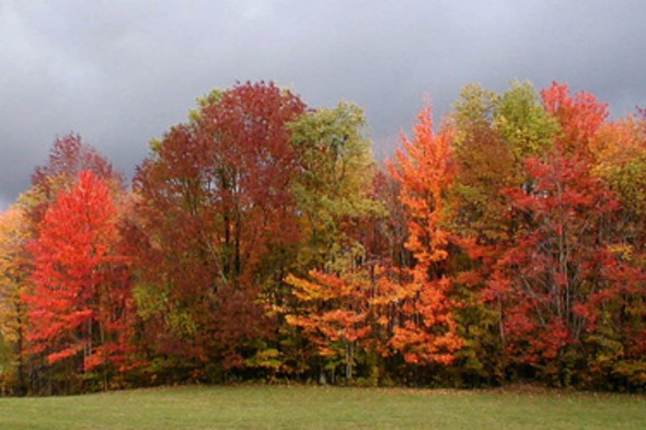 Row of Red Maples